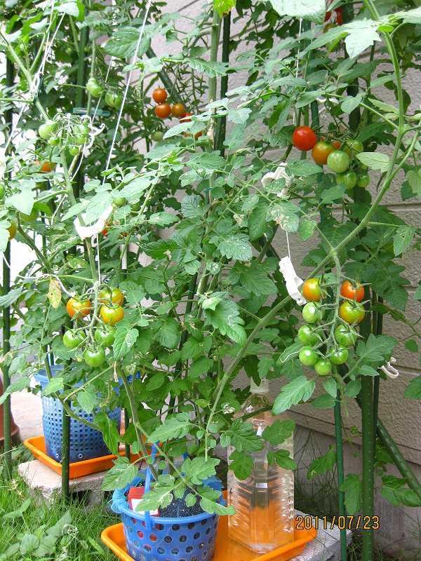 方法 ミニ トマト 栽培